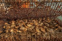 1_million_study_races_to_save_oysters_from_acidification_in_Bay
