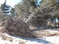 An uprooted tree in Egg Harbor Township