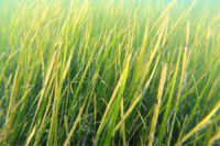 UC_Davis_researchers_find_that_seagrasses_can_reduce_the_impact_of_ocean_acidification
