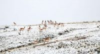 A herd of about 30 pronghorn hangs out in the area of a proposed solar project