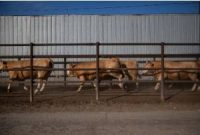 CCR Ditching meat isn't the answer for climate change. Better farming is.