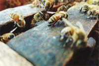 Earl_Blumenauer_Wants_to_Ban_Bee_Killing Pesticides_Is_Congress_Listening