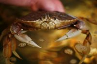 Limits on how many pots commercial crabbers can drop into the ocean