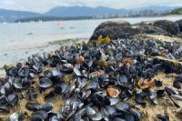 CCR Climate Disaster Looks Like Thousands of Boiled-Alive Mussels on a Beach in Vancouver