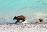 CCR Those Bathing Bears Aren't Cute. They're Climate Change Victims.