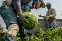 Workers during the watermelon harvest last month in Sunnyside, Wash.