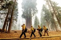 Firefighters battle the Windy Fire as it burns in the Trail of 100 Giants grove of Sequoia National Forest, California